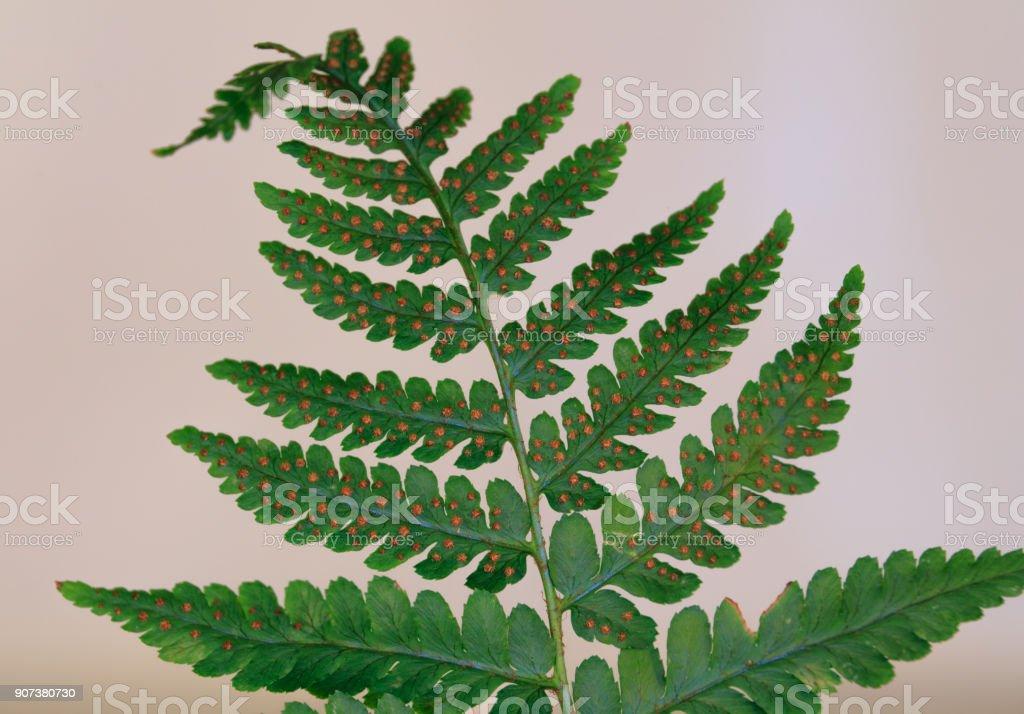 Fern Leaf with Sporangia present. stock photo