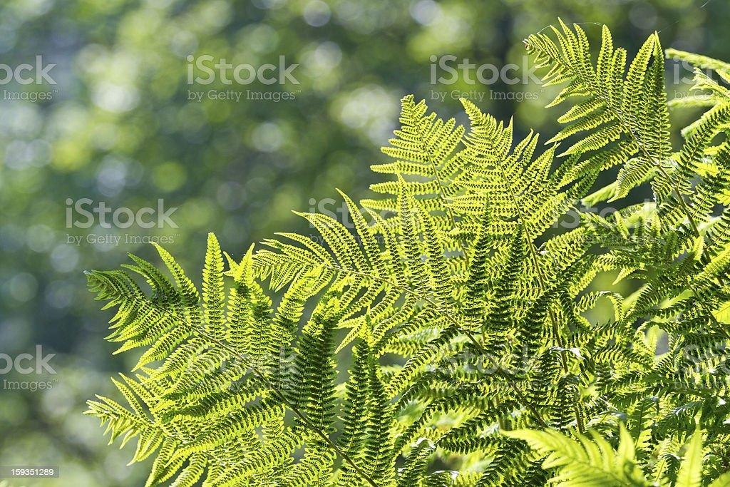 fern leafs royalty-free stock photo