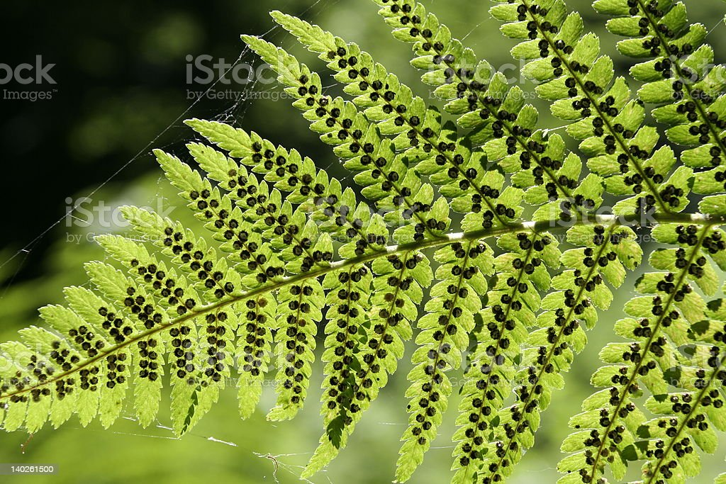 Fern leave against the sun stock photo