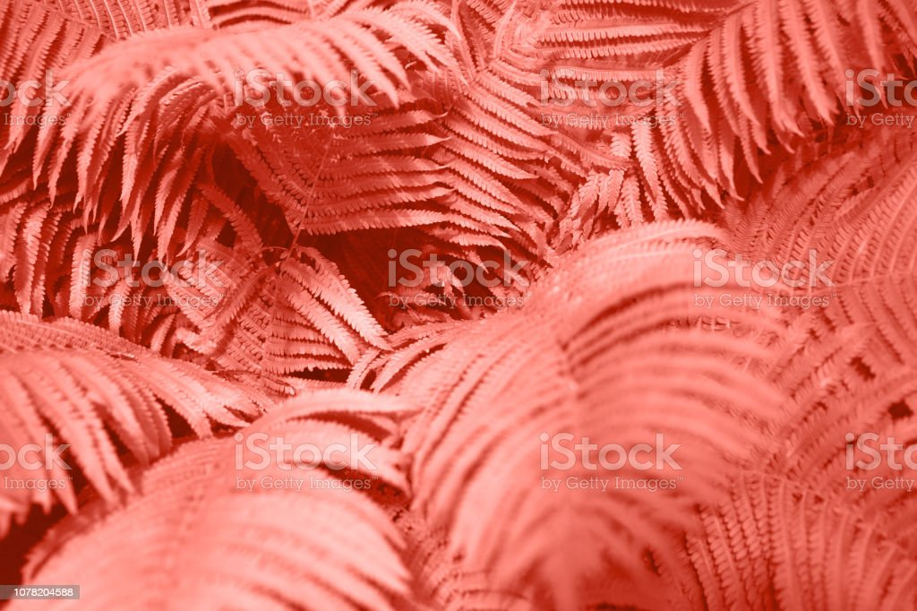 Fern leaves foliage as floral background. Color of the year 2019. stock photo