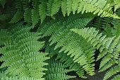 istock Fern leaves in a garden, wood fern Dryopteris Felix-mas 1221067648