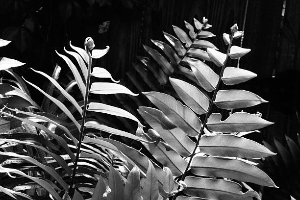Fern leaves in black and white high contrast in the sun stock photo