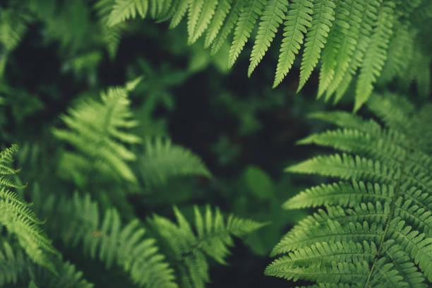 fern bladeren in het bos - varen stockfoto's en -beelden