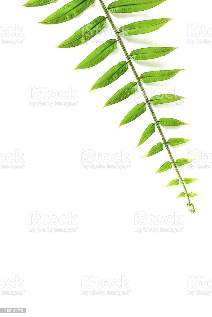 Fern Leaves Isolated On A White Background Stock Photo & More ...