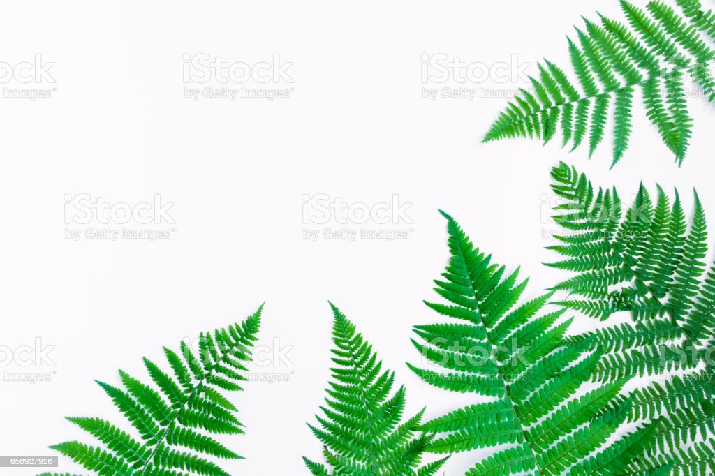 Fern leaves isolated on white background. Flat lay, top view stock photo