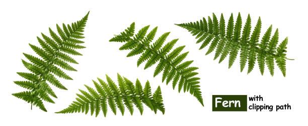 fern bladeren geïsoleerd op wit met uitknippad - clipping path stockfoto's en -beelden