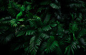 istock Fern leaves on dark background in jungle. Dense dark green fern leaves in garden at night. Nature abstract background. Fern at tropical forest. Exotic plant. Beautiful dark green fern leaf texture. 1197239452