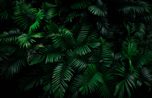 Fern leaves on dark background in jungle. Dense dark green fern leaves in garden at night. Nature abstract background. Fern at tropical forest. Exotic plant. Beautiful dark green fern leaf texture. Fern leaves on dark background in jungle. Dense dark green fern leaves in garden at night. Nature abstract background. Fern at tropical forest. Exotic plant. Beautiful dark green fern leaf texture. lesser sunda islands stock pictures, royalty-free photos & images