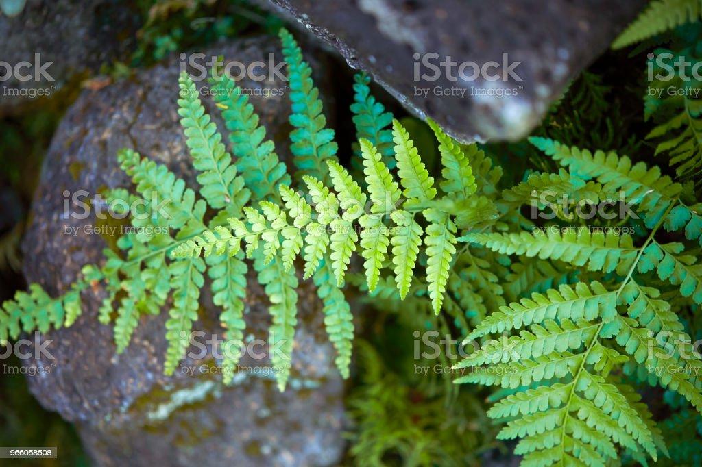 Farn Blätter - Lizenzfrei Blatt - Pflanzenbestandteile Stock-Foto