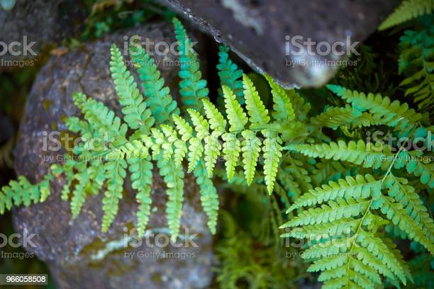 Farn Blätter Stockfoto und mehr Bilder von Blatt - Pflanzenbestandteile