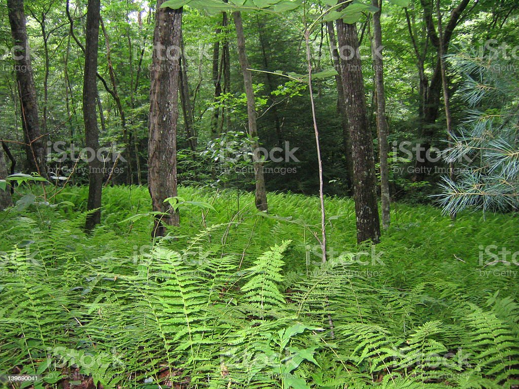 Fern Lined Forest Floor stock photo