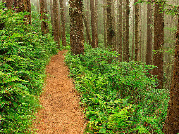 Fern Lined Path stock photo