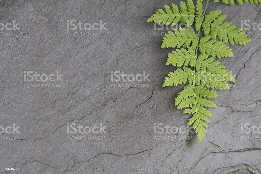 Fern on Gray Slate Rock royalty-free stock photo
