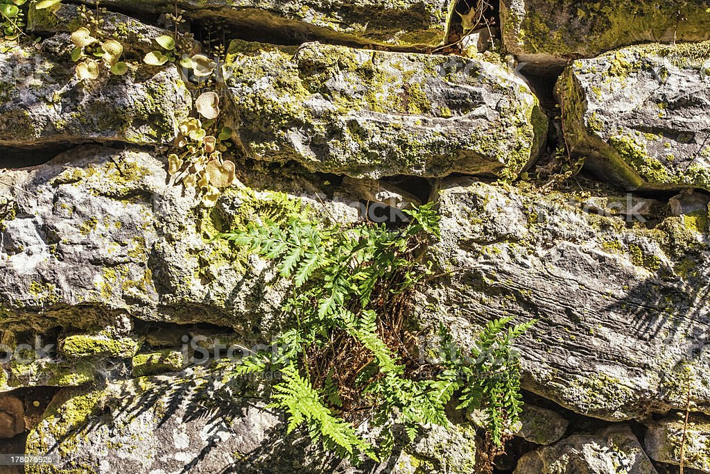 fern on old stones wall royalty-free stock photo