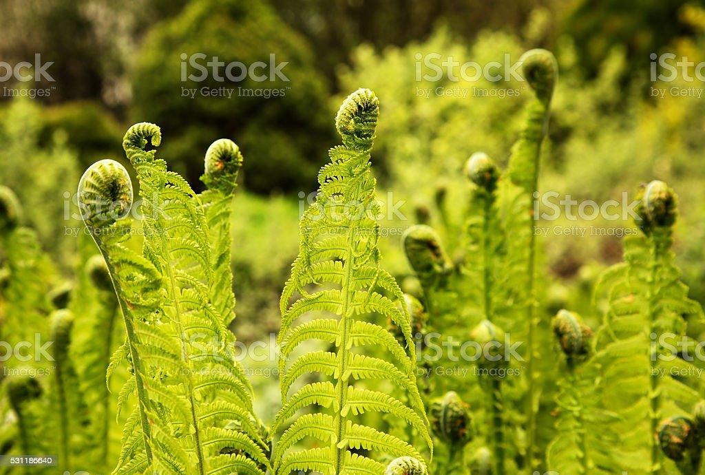Fern (Polypodiopsida Cronquist) stock photo