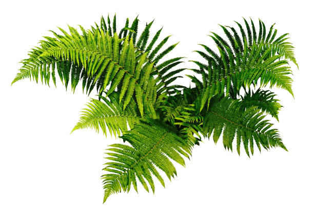 Fern plan. White background. Ferns are natural plants of the undergrowth. The leaves are serrated. fern stock pictures, royalty-free photos & images