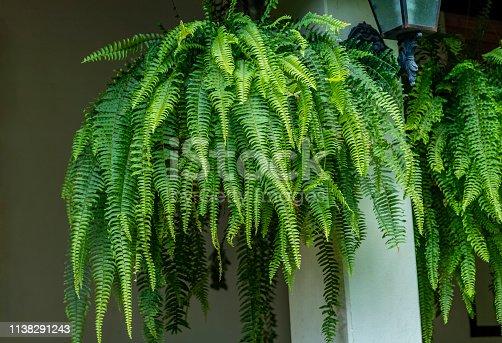 Fern plant. Closeup a large Fern hang on in a garden.