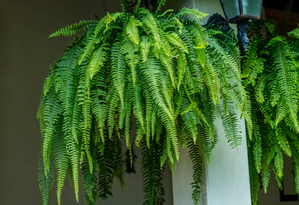 Fern plant. Closeup a large Fern hang on in a garden. Fern plant. Closeup a large Fern hang on in a garden. fern stock pictures, royalty-free photos & images