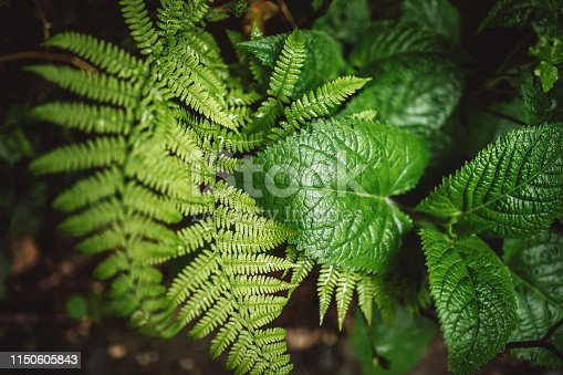 istock Fern plant in the wood 1150605843