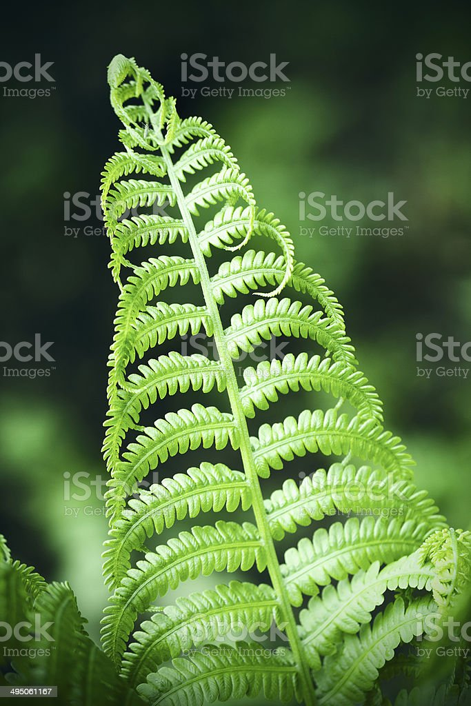 Fern Plant royalty-free stock photo