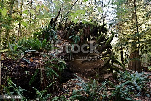 Side view of uprooted and rotting large tree trunk with healthy fern plants now growing on it years after storm destruction hit the forest