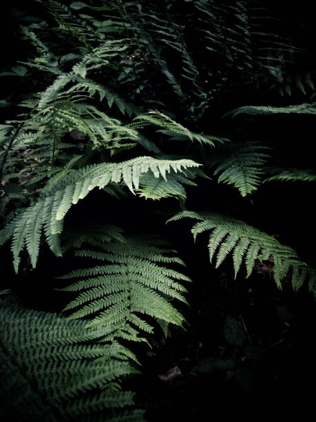Fern plants over black background stock photo