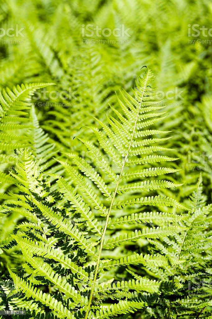 Fern Plants royalty-free stock photo