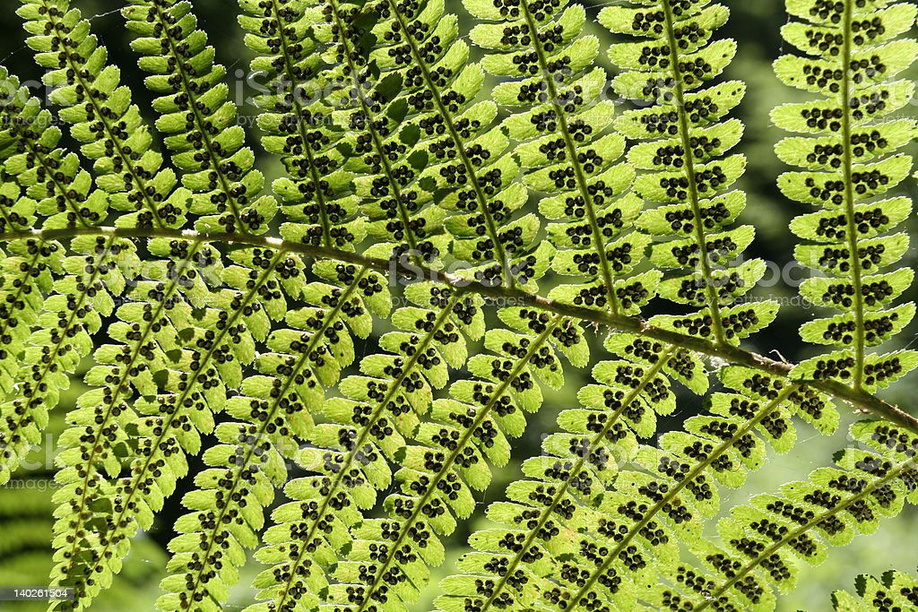 Fern seeds royalty-free stock photo