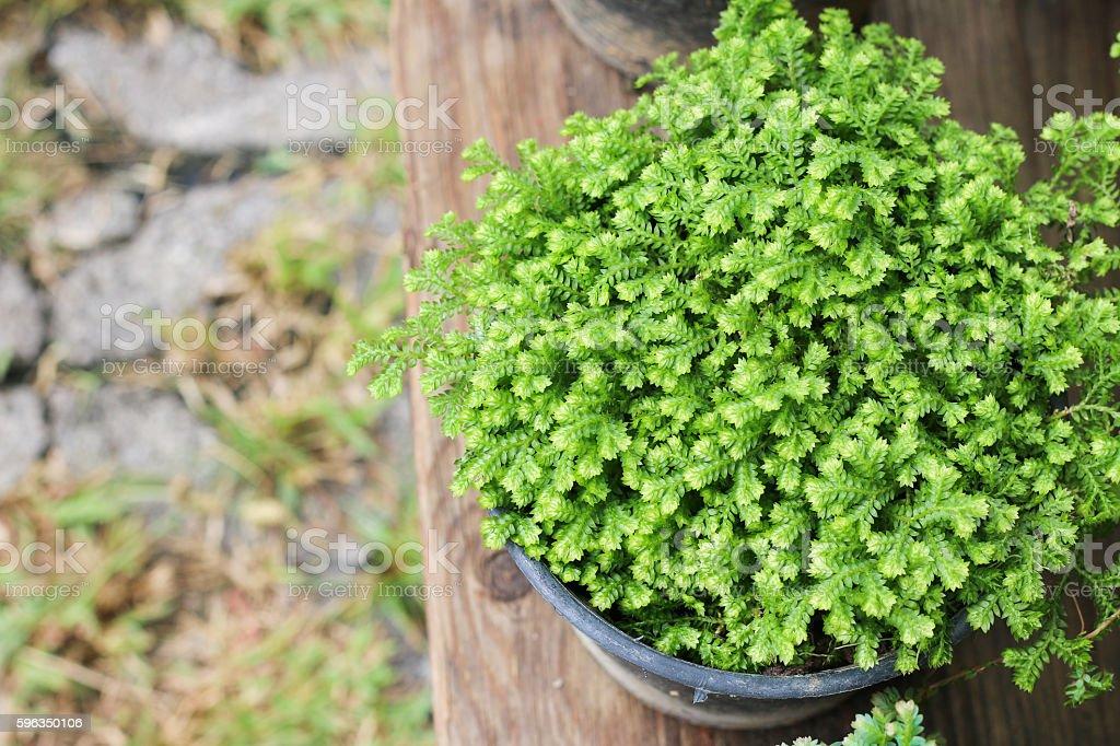 Fern : Selaginella involvens Lizenzfreies stock-foto