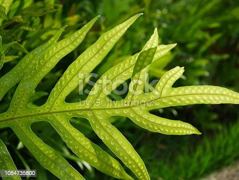 Plant, Rain, Shadow, Thailand, Spore, Fern, Leaf