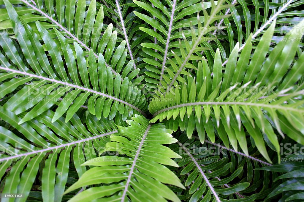 fern symmetric centre leaves royalty-free stock photo
