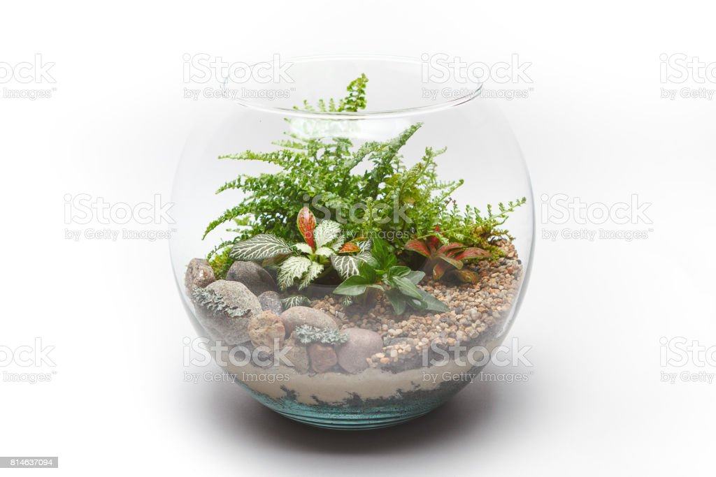 Fern terrarium in a round glass vase isolated stock photo