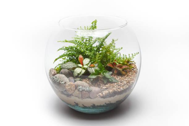 farn terrarium in einer runde glasvase, isoliert - terrarienpflanzen stock-fotos und bilder