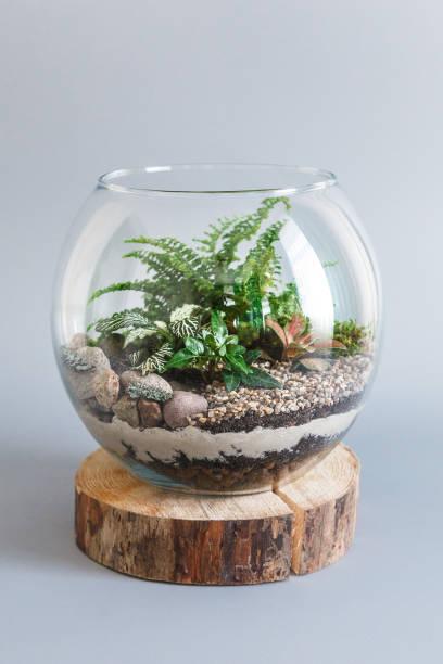 farn terrarium in einer runde glasvase auf grauem hintergrund - terrarienpflanzen stock-fotos und bilder