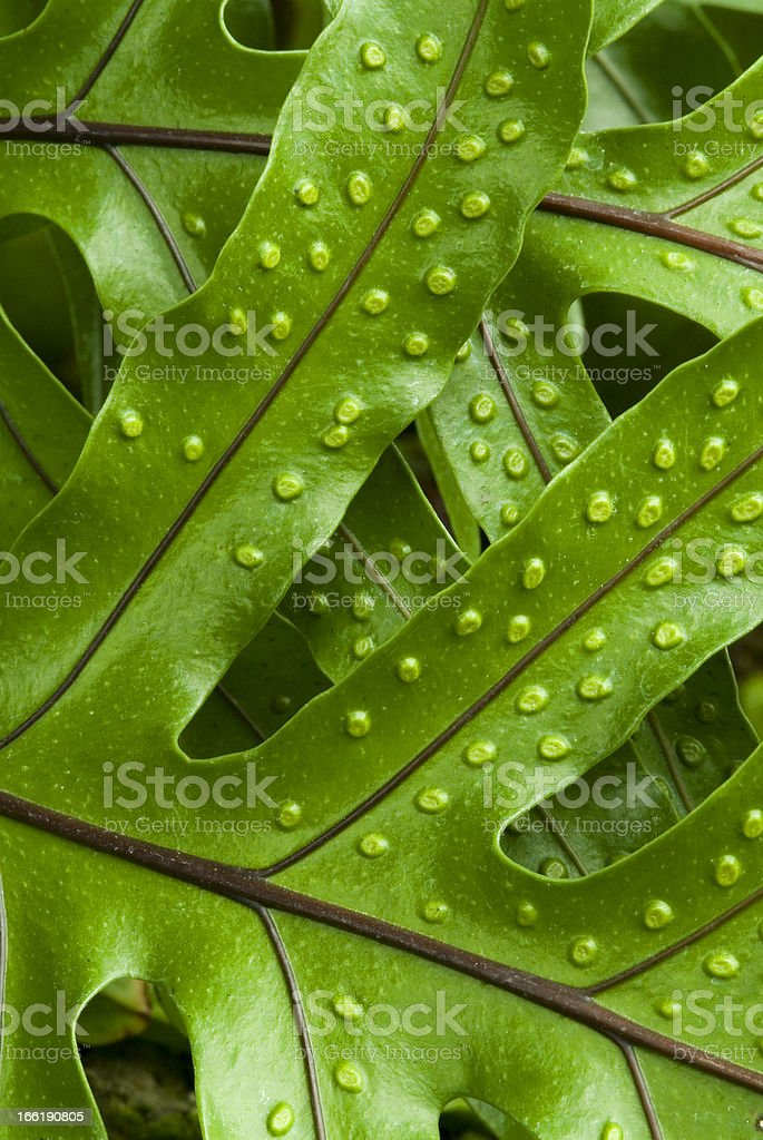 Fern Textures royalty-free stock photo