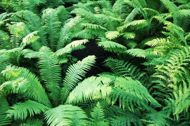 Farn-Dickicht in den Wäldern der Insel Walaam. – Foto