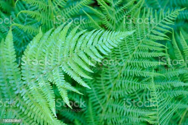 Photo of Fern thickets, natural green leaves, polypodium background