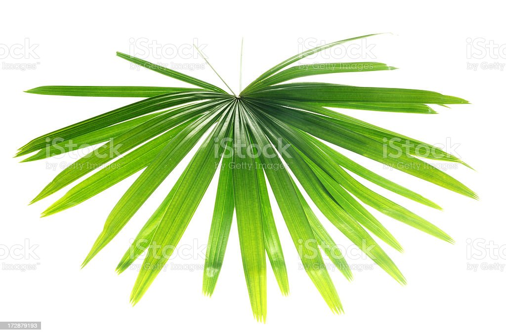 fern type leave isolate on white royalty-free stock photo
