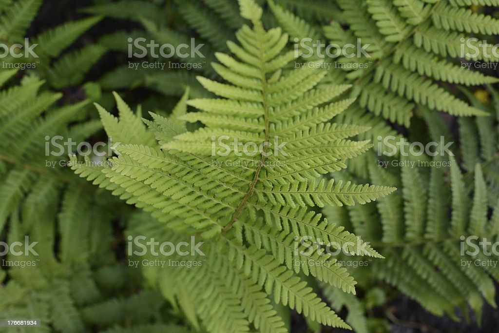 Fern with a shallow depth of field royalty-free stock photo