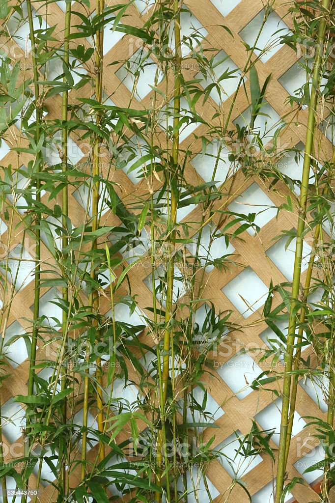 Fernleaf Hecke Bambusbambusa Multiplex Raeusch Ex Schultpoaceae