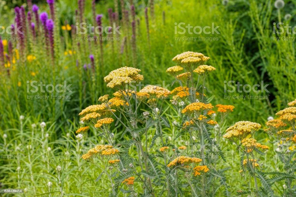 Fernleaf Yarrow in garden stock photo