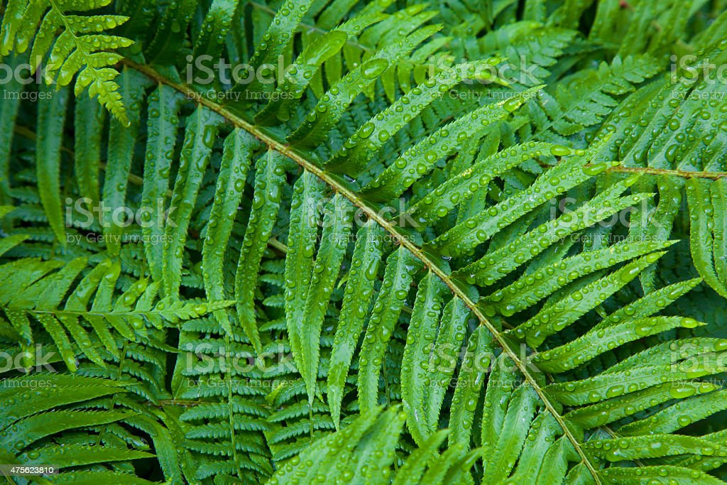 Ferns after the spring rain stock photo