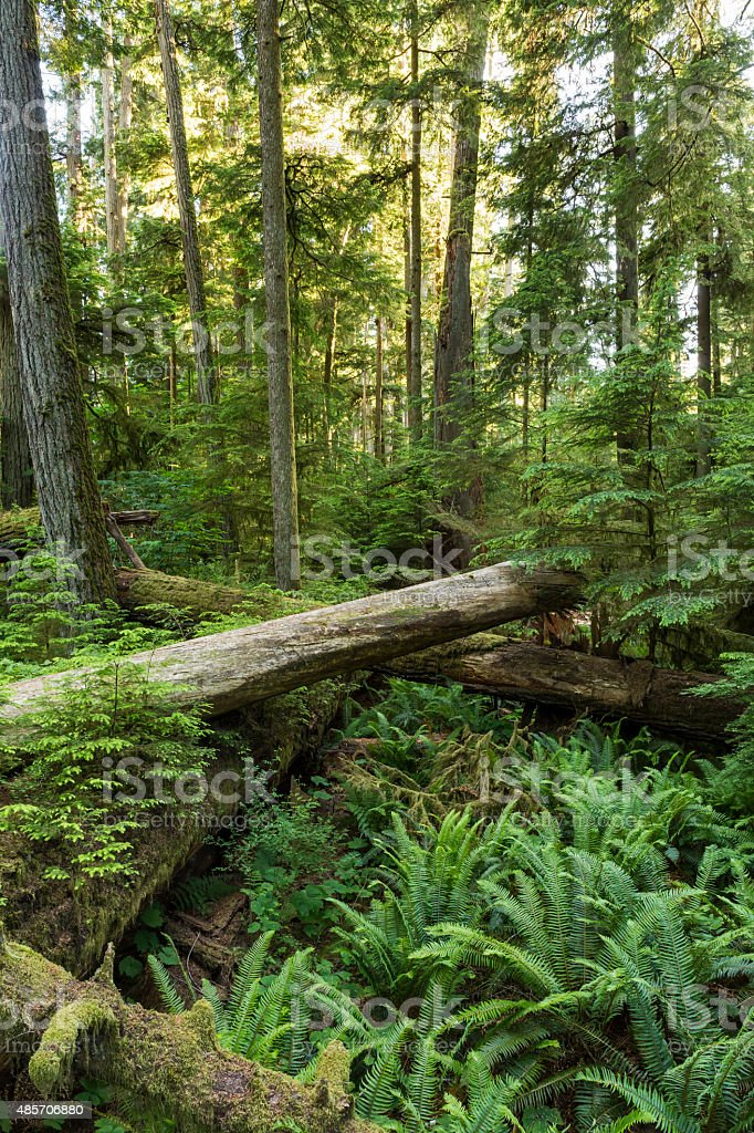 Ferns and Fallen Giants on the Forest Floor stock photo