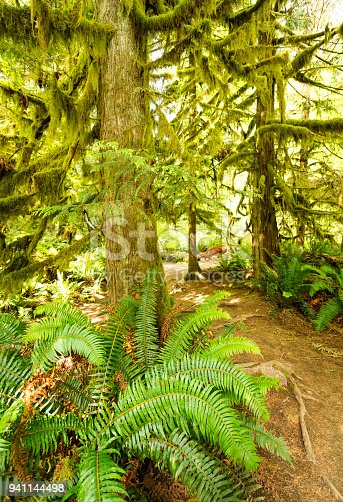 Green feathery ferns and moss hanging from trees in the  rainforest on a hiking trail in Cathedral Grove, Tofino, Vancouver Island, British Columbia, Canada