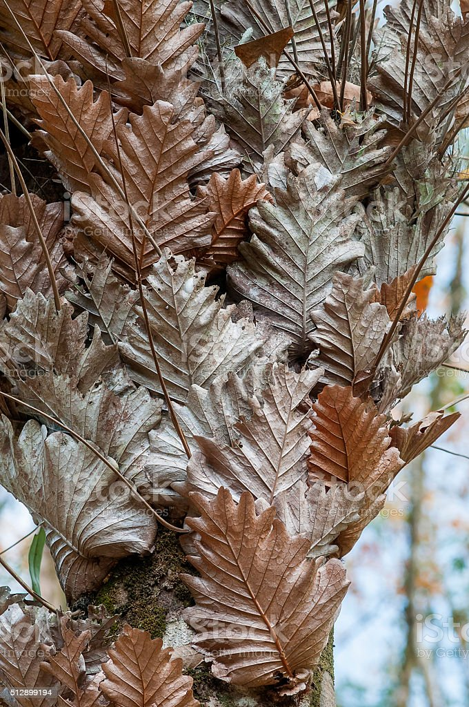 Ferns , dried,Thailand stock photo