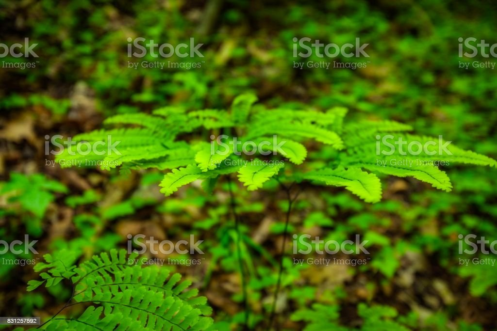Ferns,  Great Smoky Mtns NP stock photo