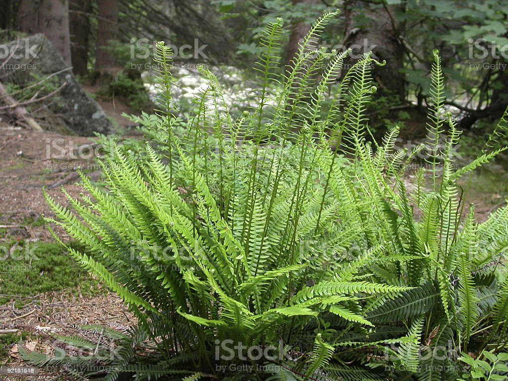 Ferns: Hard Fern (Blechnum spicant) royalty-free stock photo