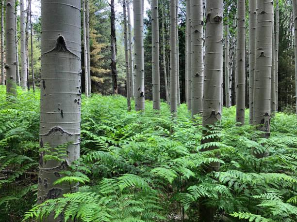 Ferns in an Aspen Grove stock photo