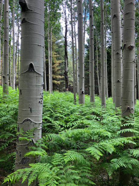 ferns in an aspen grove - jeff goulden stock photos and pictures