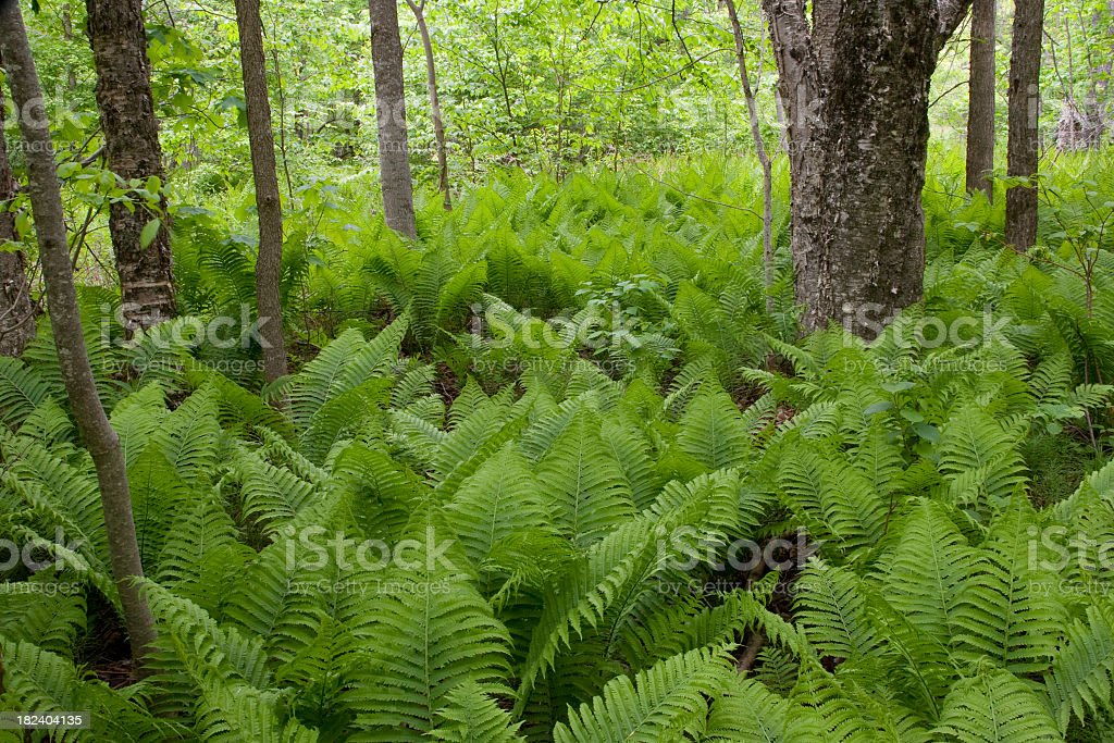 Ferns in forest royalty-free stock photo